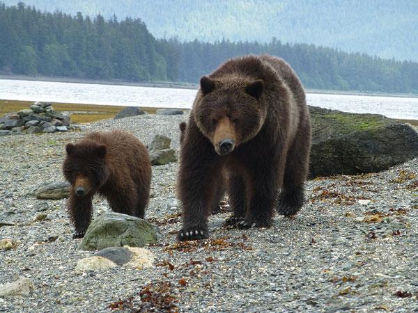 Ours bruns de l'Admiralty Island National Monument en Alaska