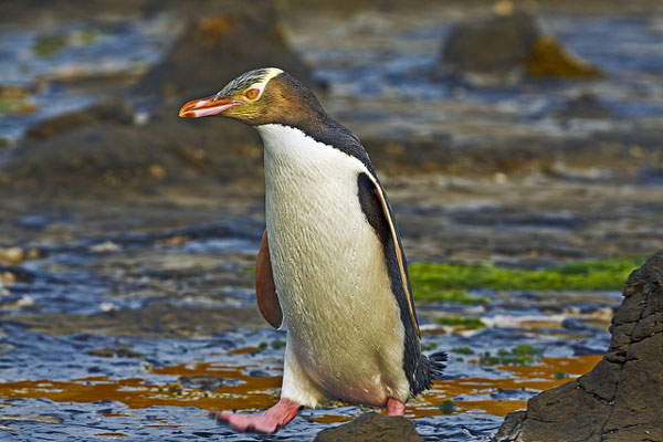Pingouins de Curio Bay (Nouvelle-Zélande)