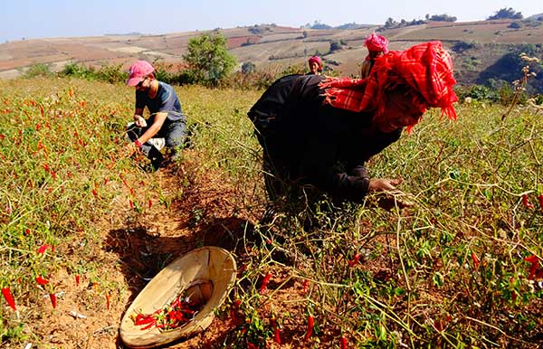 Oriane et David en Birmanie, ramassant des piments rouges