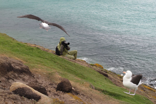 Au milieu des Albatros, Falkland Islands (Îles Malouines)