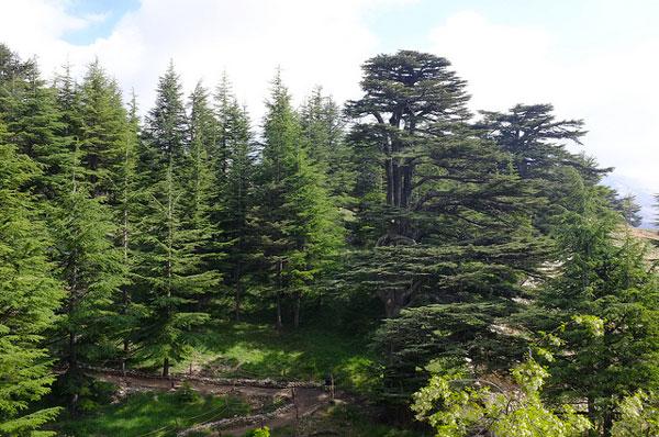 La forêt des Cèdres de Dieu, Liban