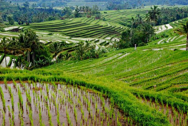 Les rizières en terrasse de Jatiluwih (Bali, Petites îles de la Sonde)