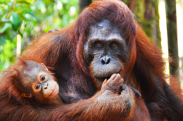 Orangs-outans dans le Parc national de Tanjung Puting (Kalimantan)